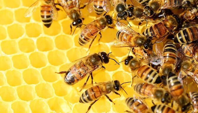 Liečivý propolis – včelí zázrak